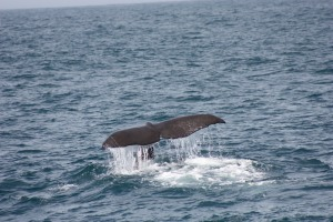 Sperm whale tail, Kaikura